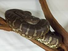 BREDLI PYTHON ADULTS $75 EACH 1 WEEK ONLY Hillcrest Port Adelaide Area Preview