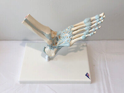 3b Scientific Foot Skeleton Model With Ligaments Anatomical Model Anatomy M34