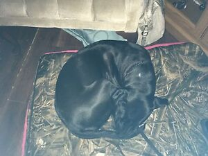 Beautiful Lab/Boxer mix for sale and rehoming