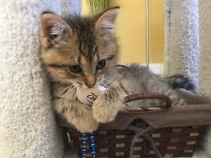 Bengal Mix Kitten for Sale!