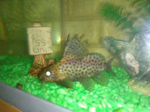 Leopard Catfish Thornlie Gosnells Area Preview