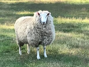 Cross bred  pet sheep ewe and weather Carrick Meander Valley Preview