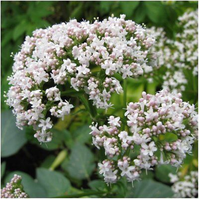 Valerian Root Herb  20 Seeds Organic Medicinal Homeopathic Health Insominia