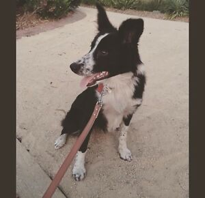 Dogs For Sale Gumtree Vic