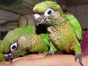 HANDRAISED CONURES AVAILABLE SOON! Tara Dalby Area Preview