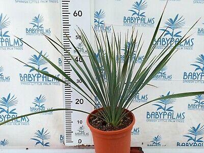 yucca rostrata 40-50 cm en maceta 5 litros