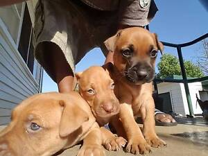 7 american staffy pups for sale Sefton Bankstown Area Preview