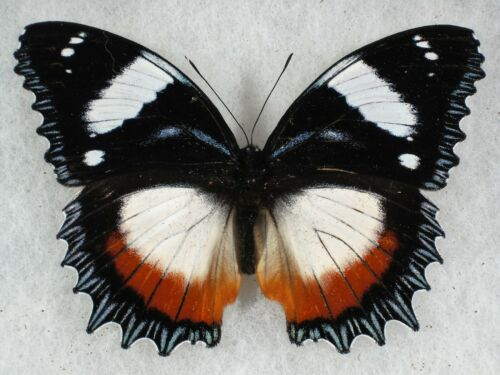 Insect/Butterfly/ Speryeria cybele leto - Pair
