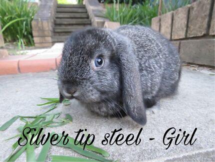 Purebred Mini Lop Rabbits - Female x 2