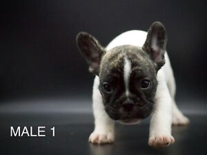 Quality Purebred French bulldogs pups (FROM $2500)