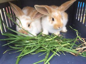 Baby rabbits Bankstown Bankstown Area Preview