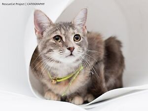 Lady the Lovely Kitten is looking for her forever home Cranebrook Penrith Area Preview