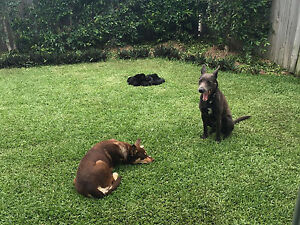 KELPIE PUPS FOR SALE North Lakes Pine Rivers Area Preview