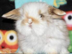 BABY MINI LOPS & DWARFS FROM $50 (AND BRAND-NEW CAGES/HUTCHES) Clayton Monash Area Preview
