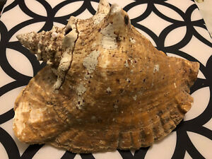 Giant Sea Shell from Caribbean
