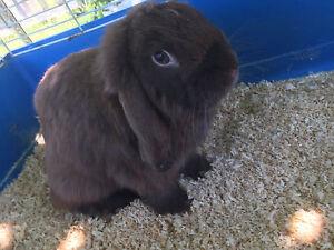 Male rabbit Bankstown Bankstown Area Preview