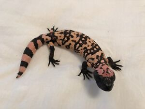 baby 2018 Banded Gila Monster (Heloderma s. cinctum)