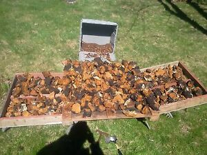 Selling Freshly Harvested Chaga