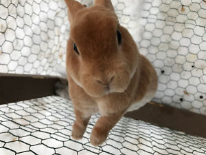 Pedigreed Mini Rex Buck