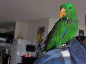 Eclectus Parrot Hand Tamed Male Very Friendly Male 9 Months Old Wonthaggi Bass Coast Preview