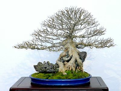 bonsai pflege acer buergerianum dreispitzahorn ebay. Black Bedroom Furniture Sets. Home Design Ideas
