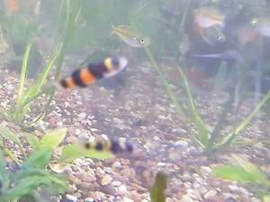 Bumblebee gobys g8t size Cabramatta West Fairfield Area Preview