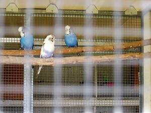 YOUNG RECESSIVE PIED BUDGERIGARS Wilton Wollondilly Area Preview