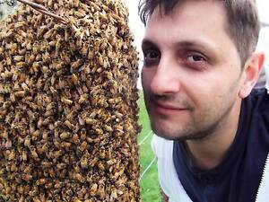 Bee swarms removal (relocation) all Adelaide Areas Woodville West Charles Sturt Area Preview