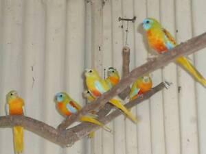 Birds fer sale Willunga Morphett Vale Area Preview