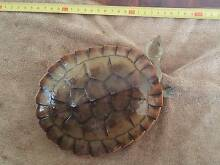 Adult Short neck turtle for sale Evanston Gardens Gawler Area Preview