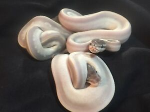 1.2 Purple Passion Ball Pythons