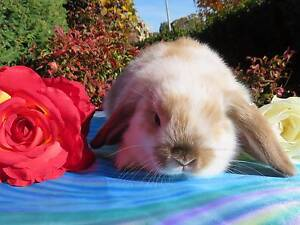 gorgeous purebred baby mini lop rabbits Sydenham Brimbank Area Preview