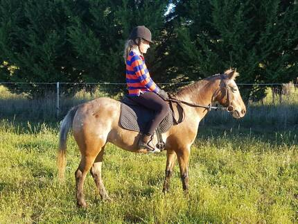 Pony For Sale Very Quiet Super 1st Horse
