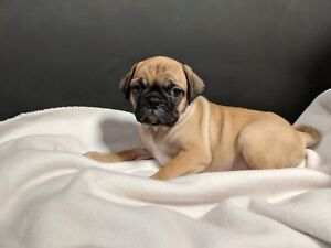 PUGS FOR SALE! READY NOW!!!