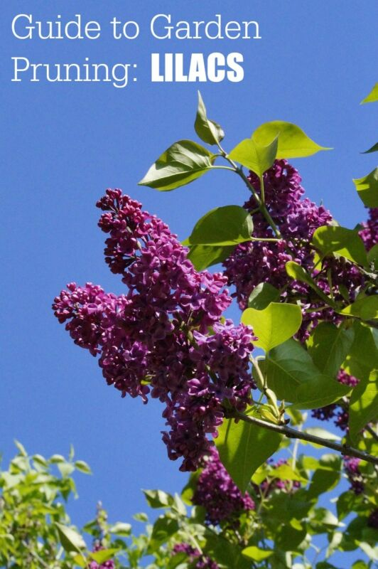 Garden Pruning Guide | Spring Bloom Plants | Lilacs