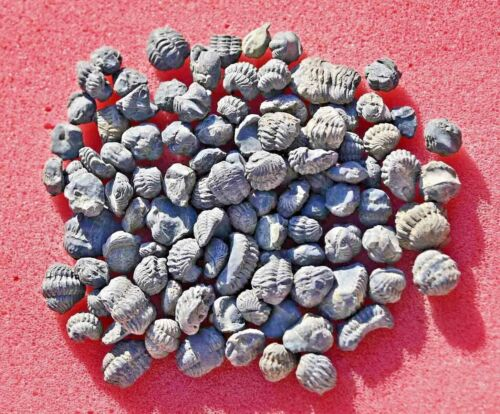 One Hundred Trilobite Fossils, Phacops (Acastoides), from Morocco #1