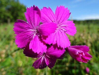 Garten, Wildblumen (2x200 Samen von Dianthus carthusianorum KARTÄUSER-NELKE Wildblumen Steingarten)