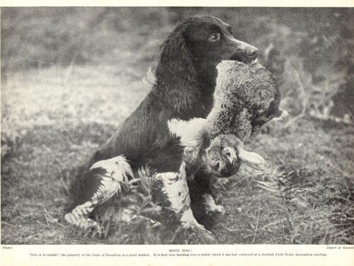 1930s Antique SPRINGER SPANIEL Print Bob of Avondale and Rabbit 3462-L