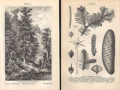 TANNE Edeltanne Abis alba , A. pectinata Holzstich um 1900 Tannen