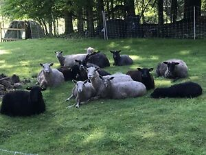 Spinners and weavers! Gotland ewes and Ram for sale