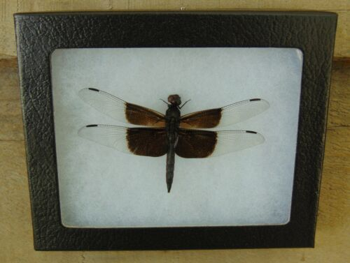 E362) Real Widow Skimmer Dragonfly 4X5 frame display butterfly insect taxidermy