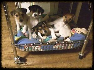 Jack Russell terrier pups