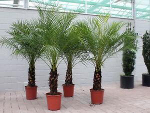 Zwergdattelpalme palmen ebay - Palmenarten zimmerpflanzen ...