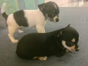 Chihuahua x Tenterfield pups Mossman Cairns Surrounds Preview