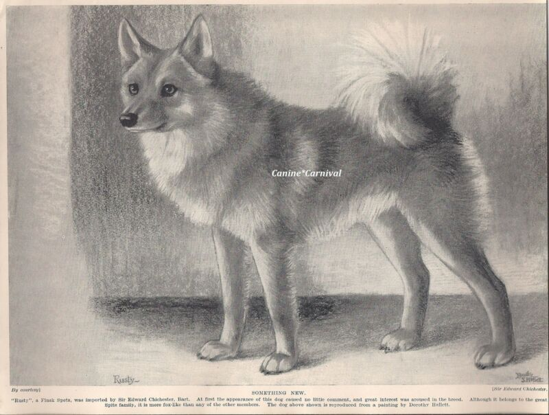 "Early type ""Rusty""  FINSK SPETZ 1934 VINTAGE DOG ART PRINT FINNISH SPITZ"