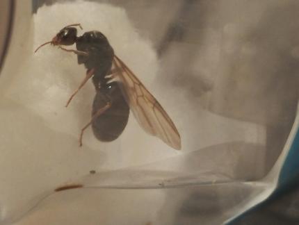 Queen Ants Local Adelaide