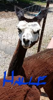 Halle nice female alpaca pregnant 2 years old