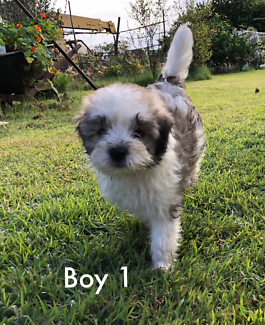Poodle x Shitzu Maltese Absolutely Adorable