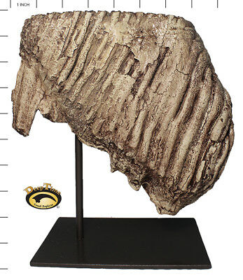 Mammoth Tooth - Cast Replica, Ice Age, Tooth, Mammal, Mammoth