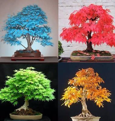 Maple Tree (20Pcs Japanese Maple Tree Seeds 5 Kinds Rare Acer Palmatum Bonsai Potted Plants)